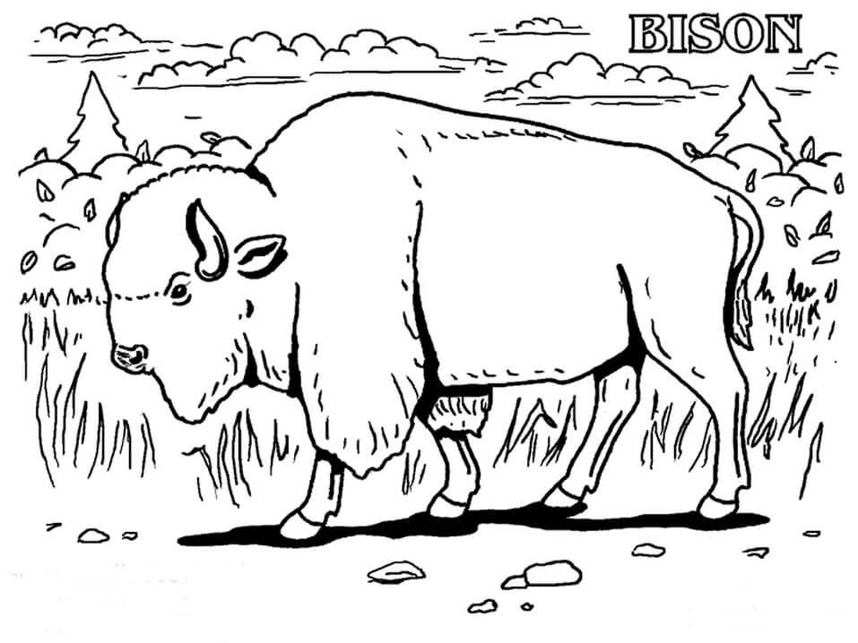 A Wild Bison