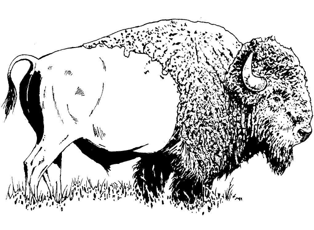 American Bison 1