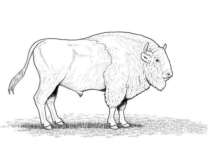 American Bison 2