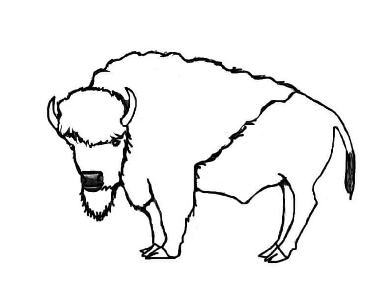 American Bison 3