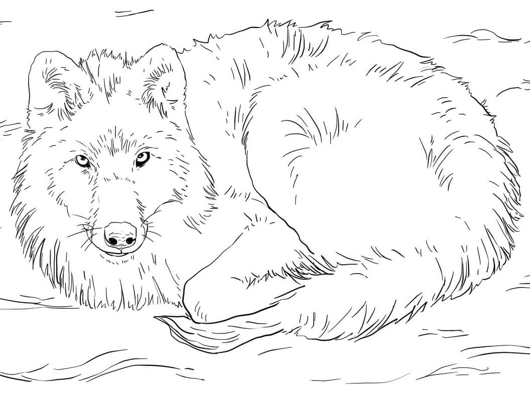 Arctic Wolf Laying on Snow