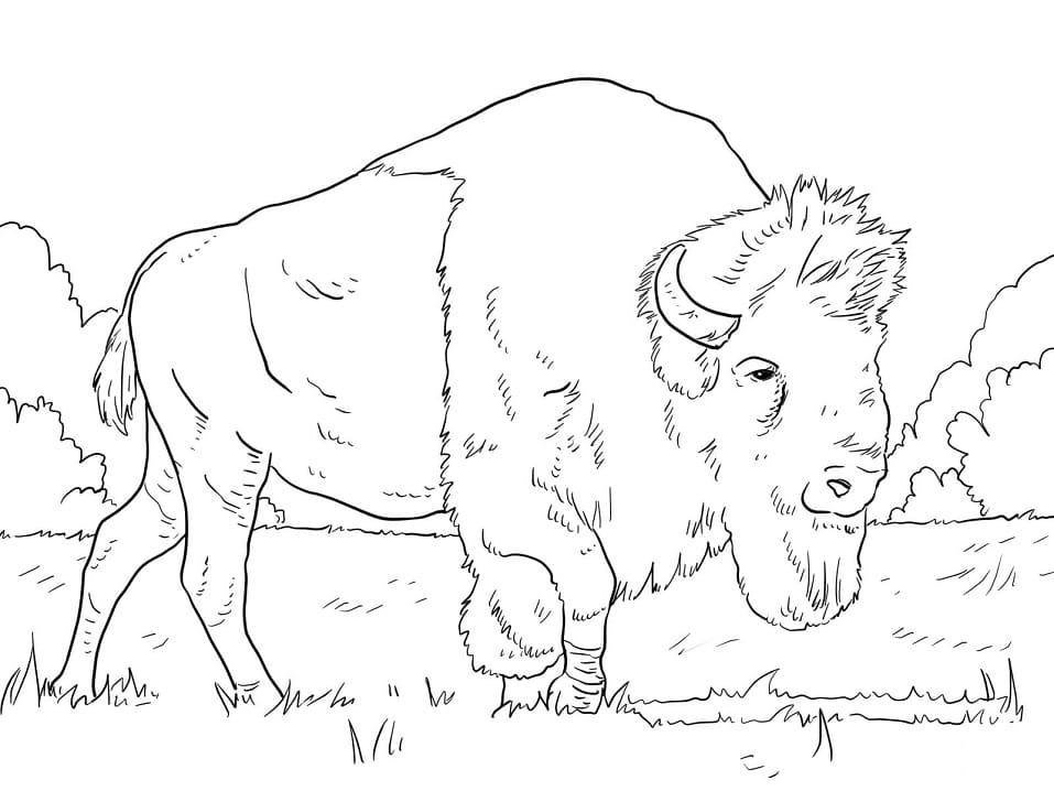 Bison Grazing on Grass