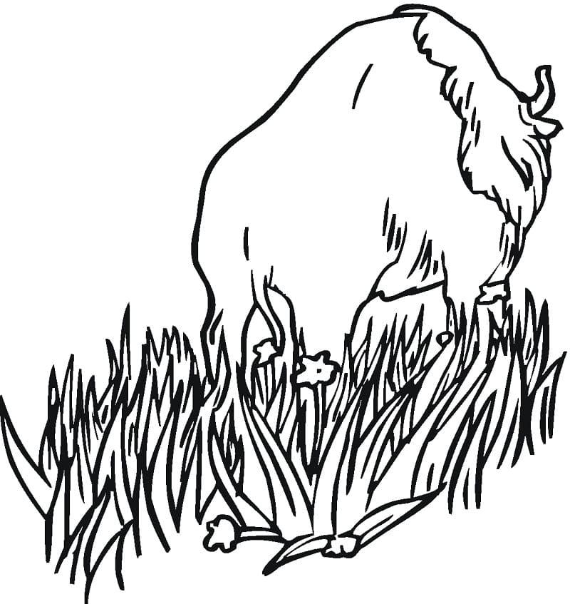 Bison is Walking