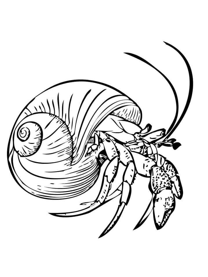 Common Hermit Crab