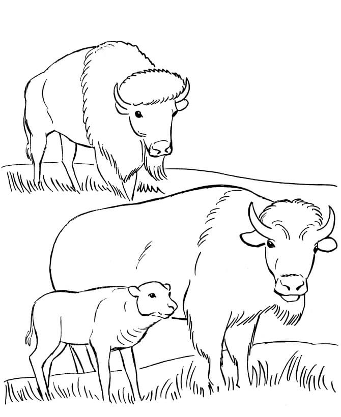 Family Bison