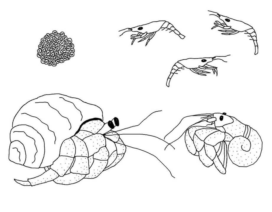 Hermit Crabs and Shrimps