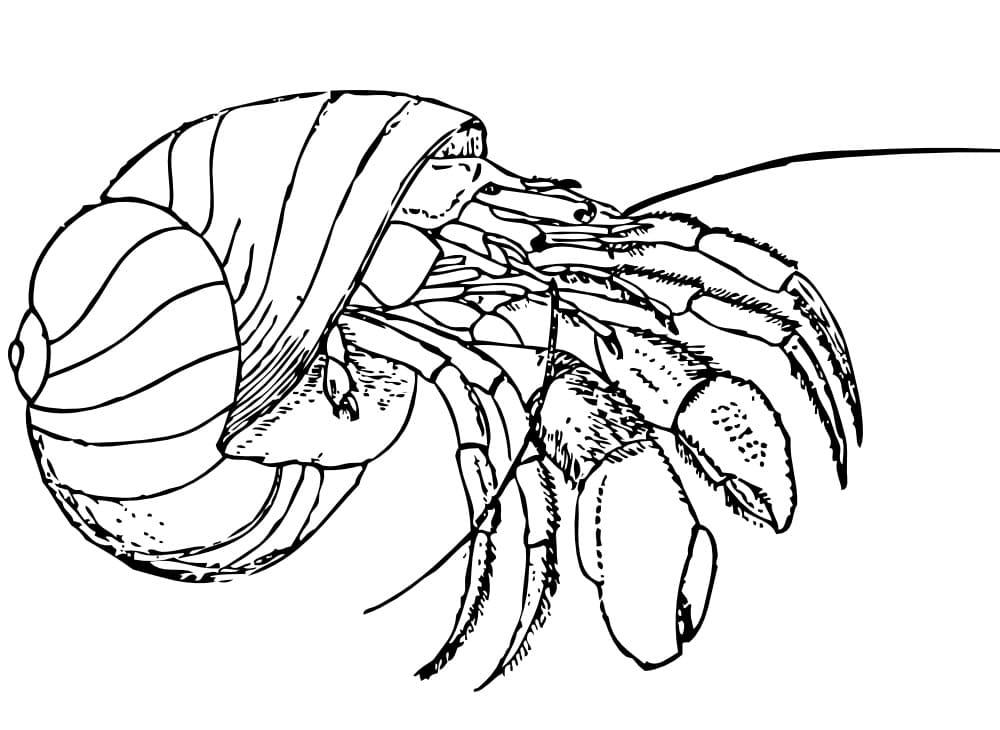 Natural Hermit Crab