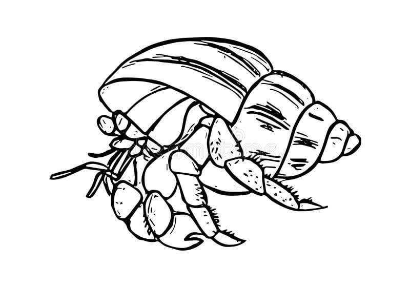 Ocean Hermit Crab