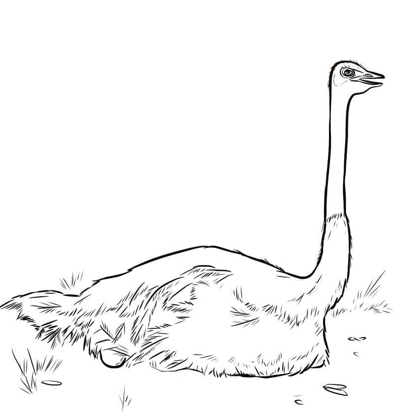 Ostrich Nesting