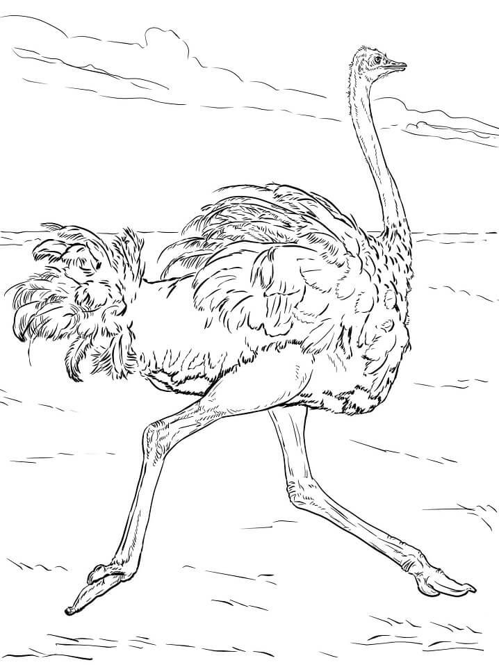 Ostrich Runs