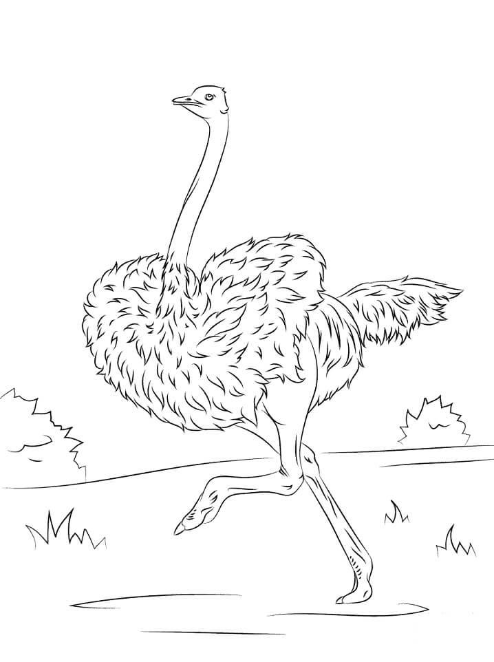 Ostrich is Running