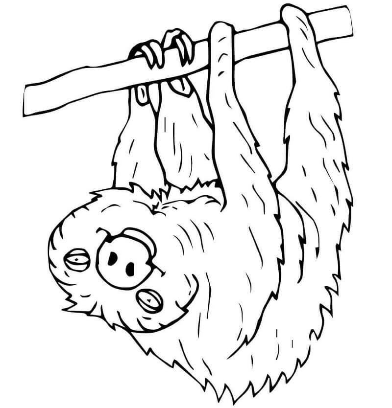 Two Toed Sloth 1